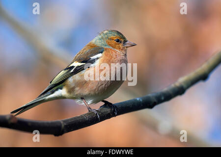 Common chaffinch (Fringilla coelebs) male perched on branch in tree - Stock Photo