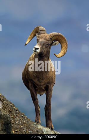 Bighorn sheep (Ovis canadensis) ram, Jasper National Park, Alberta, Canada - Stock Photo