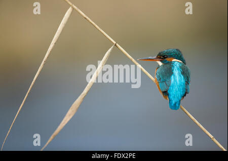 Kingfisher (Alcedo atthis) sitting on a reed whilst fishing in the river - Stock Photo