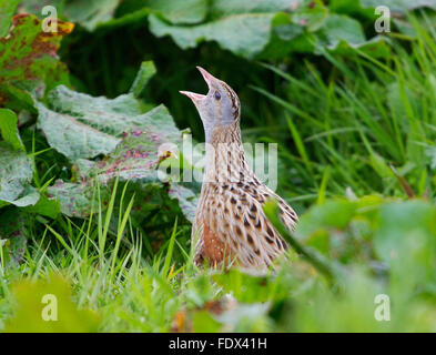 23rd May 2015, Balranald, North Uist, Outer Hebrides, Scotland, GB.  A Corncrake calling Balranald Nature Reserve, - Stock Photo