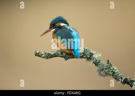 Kingfisher (Alcedo atthis) sitting on a lichen stick, over a river and fishing - Stock Photo