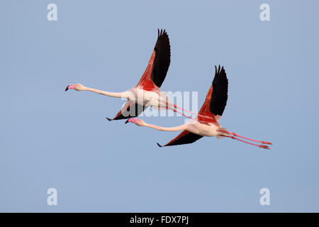 Greater flamingo (Phoenicopterus roseus), pair, flying, Camargue, Southern France, France - Stock Photo