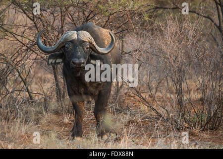African or Cape buffalo (Syncerus caffer) amongst bushes, Madikwe Game Reserve, North West, South Africa - Stock Photo