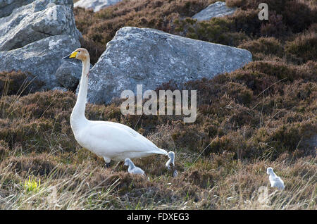 22nd May 2015, South Uist Outer Hebrides, Scotland UK. One of a pair of breeding Whooper Swans with Cygnets on open - Stock Photo