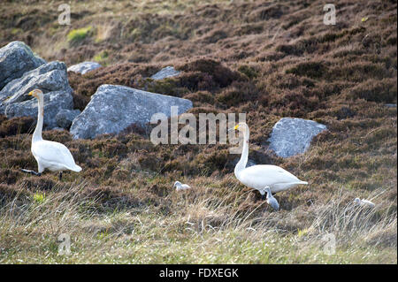 22nd May 2015, South Uist Outer Hebrides, Scotland UK. A pair of breeding Whooper Swans with Cygnets on open moorland - Stock Photo