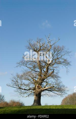 Sweet/Spanish Chestnut (Castanea sativa) West Sussex, UK. December. - Stock Photo