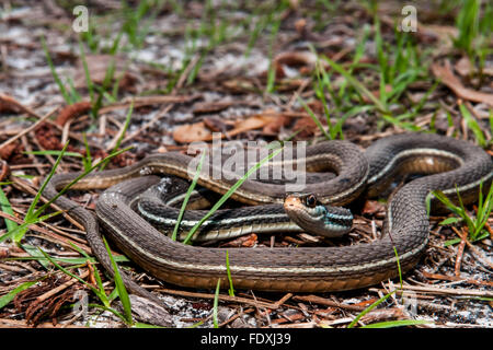 Bluestripe Ribbon Snake - Stock Photo