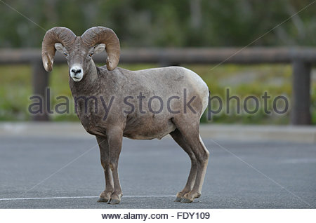 Bighorn Sheep (Ovis canadensis) stands in a parking lot near Logan's Pass in Glacier National Park, Montana - Stock Photo