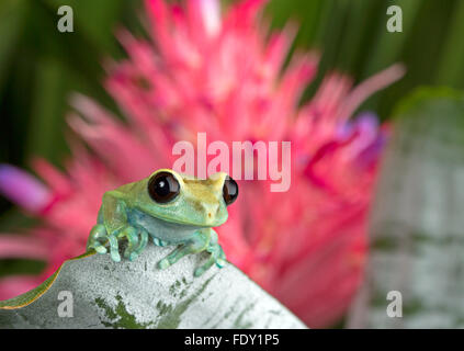 Tree Frog on green foliage - Stock Photo