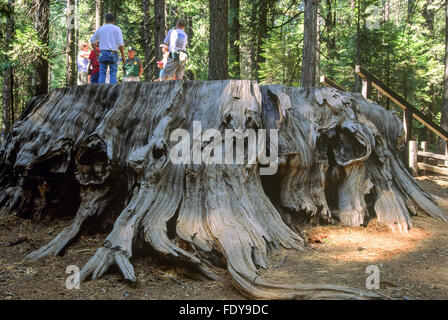 Park Ranger giving talk to tourists standing on the 'Discovery Tree', a large Giant Sequoia tree stump - Stock Photo