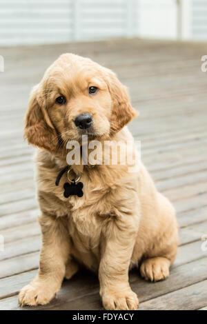 Sleeping eight week old Golden Retriever puppy 'Beau' in Issaquah, Washington, USA - Stock Photo