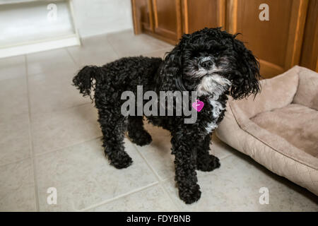 Toy Poodle puppy 'Abby' in Seattle, Washington, USA. - Stock Photo