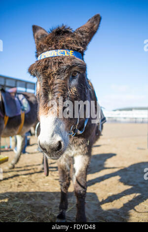 Donkey on the Beach at Weston Super Mare, Somerset, UK - Stock Photo