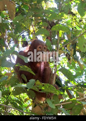 Baby orphan orangutan in a tree - Stock Photo