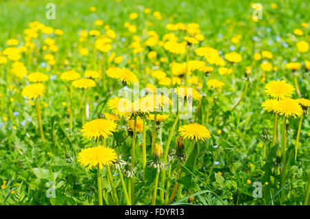 Field of abloom dandelions, spring-time background - Stock Photo