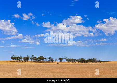 endless cultivated farm fields of wheat in South AUstralia on  a sunny day with distant group of eucalyptus trees - Stock Photo