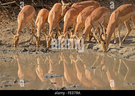 Impala (Aepyceros melampus) one male and several females drinking together at waterhole, Mana Pools National Park, - Stock Photo
