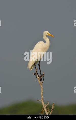 Great White Egret (Egretta alba) perched on dead branch, Bundala National Park, Sri Lanka, March - Stock Photo
