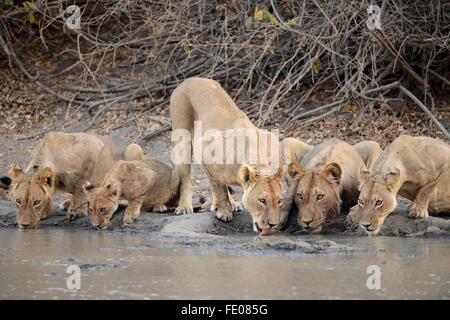 Lion (Panthera leo) five lions drinking at waterhole, Mana Pools National Park, Zimbabwe, November - Stock Photo