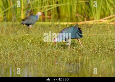 Purple Swamp Hen (Porphyrio poliocephalus) pair walking on grassy ground, Bundala National Park, Sri Lanka, March - Stock Photo