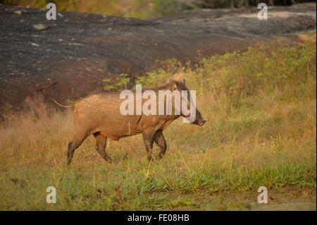 Sri Lankan Wild Boar (Sus scrofa) Yala National Park, Sri Lanka, March - Stock Photo