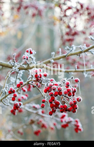 Frosted hawthorn berries in the garden. - Stock Photo