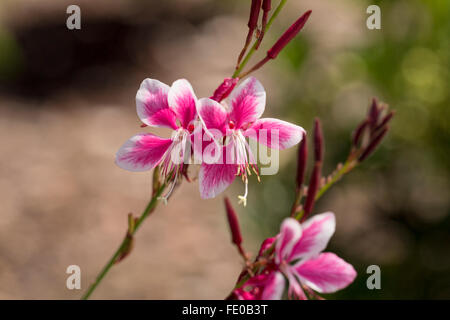 Whirling Butterflies, Gaura lindheimeri Siskiyou Pink - Stock Photo