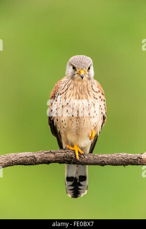 common kestrel (Falco tinnunculus) adult male perched on branch of tree, Hungary, Europe - Stock Photo