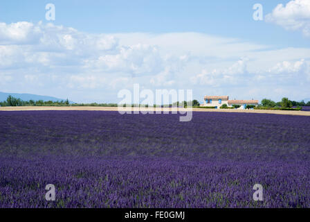 The famous lavender fields in the plateau Valensole, France - Stock Photo