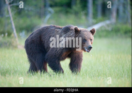 European Brown Bear, Ursus arctos arctos, Finland - Stock Photo
