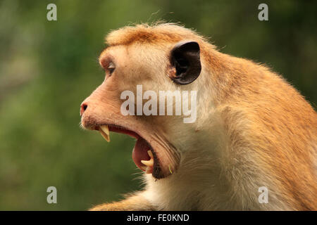 Portrait of Toque macaque (Macaca sinica) yawning, Cave Temple in Dambulla, Sri Lanka. Toque macaques live only - Stock Photo
