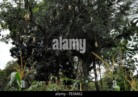 Kigelia (sausage tree) fruit near Moivaro Lodge - Stock Photo