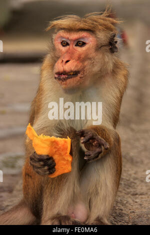 Toque macaque (Macaca sinica) eating fruit at Cave Temple in Dambulla, Sri Lanka. Toque macaques live only in Sri - Stock Photo