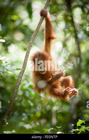 Sumatran orangutan (Pongo abelii) in Gunung Leuser National Park, Bukit Lawang, North Sumatra, Indonesia - Stock Photo