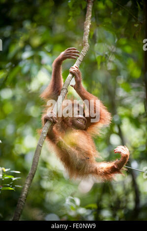 Sumatran orangutan (Pongo abelii) in Gunung Leuser National Park, Bukit Lawang, North Sumatra, Indonesia - Stock Photo