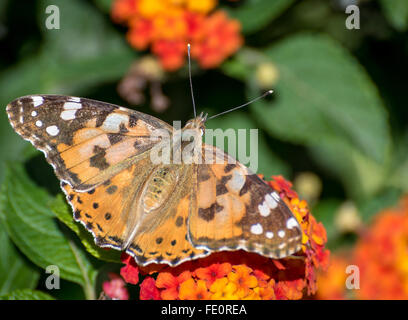 'Painted Lady' Butterfly (Vanessa cardui) - Stock Photo