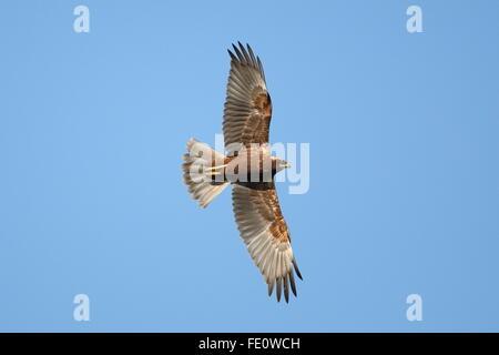 Marsh Harrier, - Stock Photo