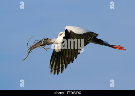 Wood stork (Mycteria americana) flying with nesting material - Stock Photo