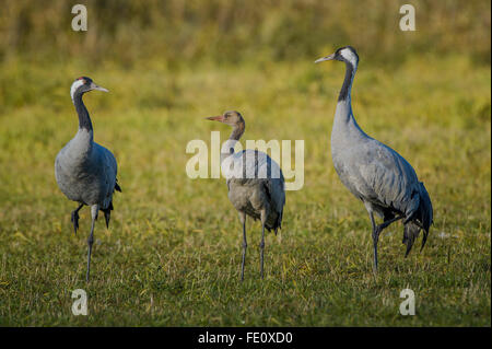 Eurasian or common crane (Grus grus), pair with juvenile bird, Fischland-Darß-Zingst, Mecklenburg-Western Pomerania, - Stock Photo