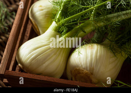 Raw Organic Fennel Bulbs Ready to Cook - Stock Photo