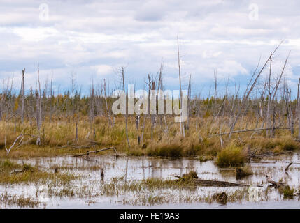 Decayed dead dry trees  and stumps in swamp against cloudy sky and forest in distance. - Stock Photo