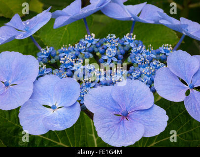 Vashon Island, WA Detail of a Hydrangea serrata, Blue Bird blossom - Stock Photo