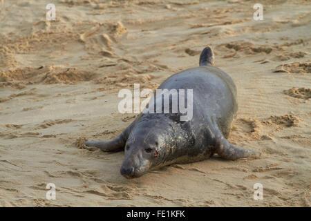 Grey Seal Bull (Halichoerus grypus) on the beach near Horsey Dunes, Norfolk, UK - Stock Photo