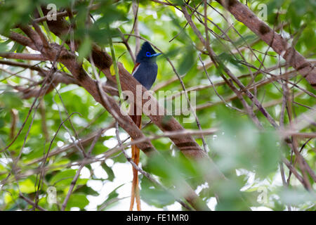African paradise flycatcher, Zambia, Africa - Stock Photo