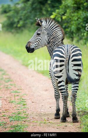 Plains Zebra, South Luangwa National Park, Zambia, Africa - Stock Photo