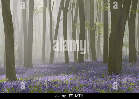 Woodland filled with bluebells on a misty spring morning near Micheldever in Hampshire. - Stock Photo
