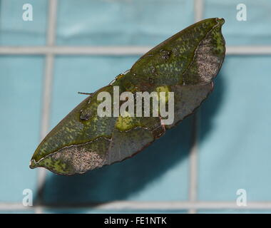 Butterfly with open wings. Omiza lycoraria  is a geometer moth in the Ennominae subfamily. Geometer moth, Geometridae - Stock Photo
