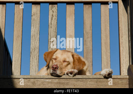 A sleepy golden haired Labrador cross dog lying on a timber deck - Stock Photo