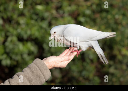 White Doves (Columba livia domestica) being fed by an elderly person. - Stock Photo