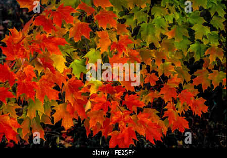 The green leaves of maples and other deciduous trees change to rich red, orange and yellow colors to mark autumn and the fall foliage season in the United States. Such fall color prompts 'leaf peeping' tourists to drive the rural roads of America, especially in New England. Stock Photo